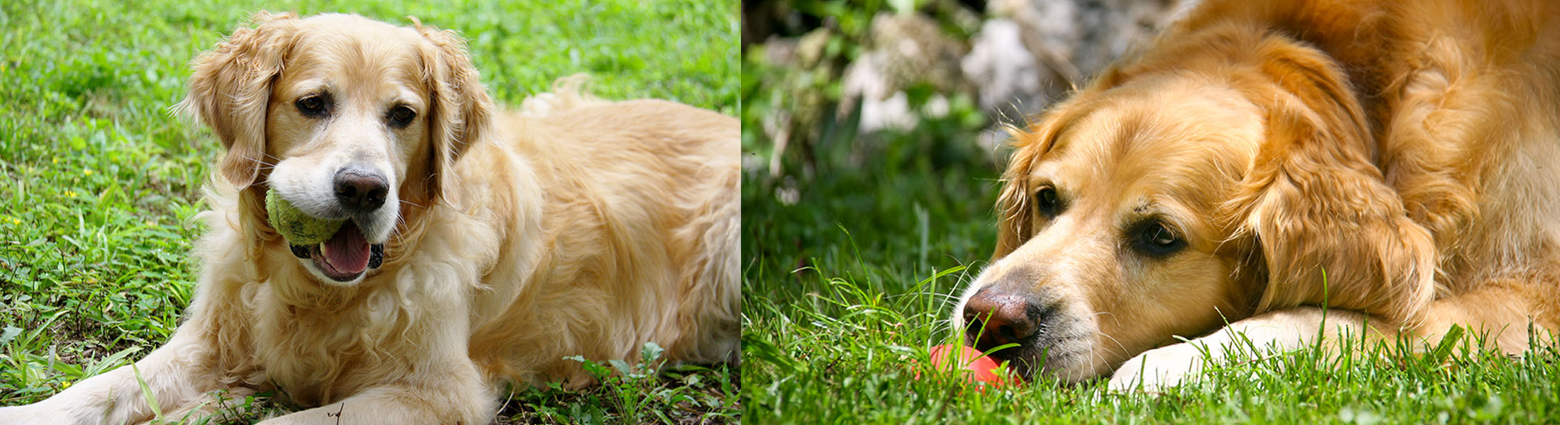 Bo enjoys being outside in the grass with his toys.
